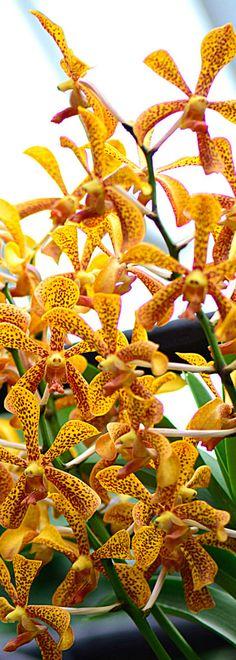 Aranda Madame Panni Aranda Sayan x V Charles Goodfellow www.southeastorchidsocietyuk.org #orchid #orchids #flower #lowers #nature