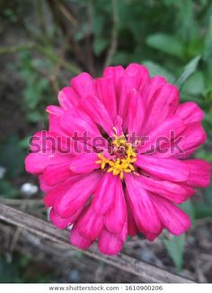 Find Bright Pink Zinnia Elegans Dahlia Zinnia stock images in HD and millions of other royalty-free stock photos, illustrations and vectors in the Shutterstock collection. Thousands of new, high-quality pictures added every day. Zinnia Elegans, Dahlia Flower, Zinnias, Bright Pink, Agriculture, Planting Flowers, Flora, Royalty Free Stock Photos, Garden