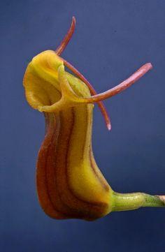 Masdevallia unguentum
