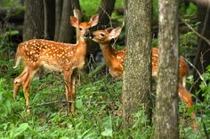 First Kiss | Pretty sure I found Bambi and Faline right here in southern Minnesota!!!