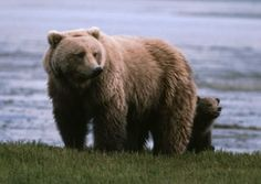 Join Vital Ground and friends on our October 2014 Wild Bear Adventure to Knight Inlet, British Columbia, Canada. http://www.vitalground.org/join-vital-ground-2014-wild-bear-adventure/#.UwvCL4W3C80