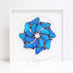 Morpho Didius Framed Insects
