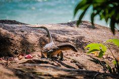 Monitor Lizard Penang National Park Monkey Beach Malaysia #monitorlizard #penang #monkeyBeach #Malaysia