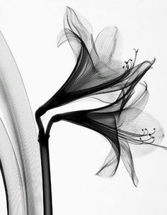gladiolus flower xray … More