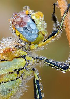 Dragonfly Covered In Dew -  there is so much awesome in this image!  I think though, that the dragonflies' vision must look like some sort of distorted drug dream from his point of view....