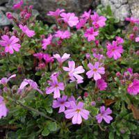 All Flower Seeds Slate Garden, Garden Paving, Alpine Garden, Alpine Plants, Primula Vialii, Foxglove Plant, Dwarf Plants, Wild Flower Meadow, Gardens Of The World