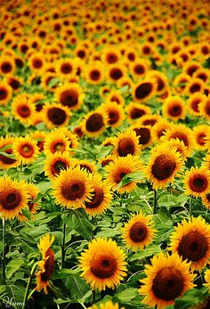lifeisverybeautiful: field of sun! by * Yumi.