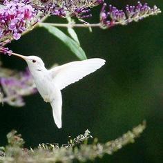 BEAUTIFUL Albino Humminbird