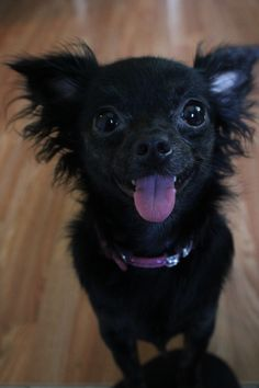 Suki! Clown face! Black long hair chihuahua