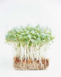 Fast growing plants for science