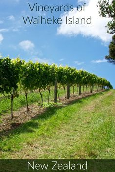 Vineyards on Waiheke Island outside of Auckland New Zealand