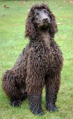 Irish Water Spaniel Dog