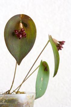 Pleurothallis nipterophylla Luer