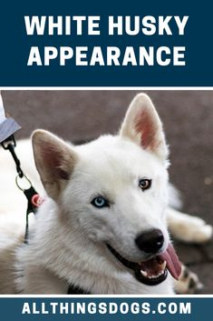 The White Husky's appearance is very easily identifiable by their thick double coat, triangular ears and lean but tall bodies. They are smaller than their cousins, the Alaskan Malamute. Check out our breed guide for further details on their looks. White Husky Dog, White Siberian Husky, White Dogs, Husky Breeds, Dog Breeds, Cousins, Alaskan Malamute, Gentle Giant, Bodies
