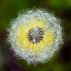 Dandelion...they may be a weed but who ever said they weren't remarkable? Blow!