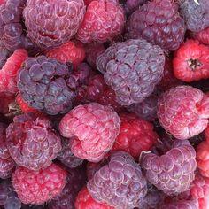 Purple & red raspberries from my Dowling Community Garden.  Ah, summer.  Photo by tammykimbler • Instagram