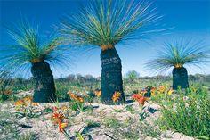 Western Australian Grass Trees and Miniature Kangaroo Paws