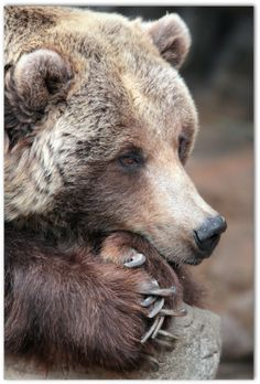 """Grizzly Bear Complacancy"" by metherit ** learning more every day** Animals And Pets, Baby Animals, Funny Animals, Cute Animals, Baby Pandas, Wild Animals, Ours Grizzly, Grizzly Bears, Bear Photos"