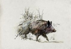wild boar drawings - Google Search