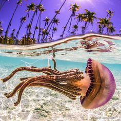 Jellyfish in Apataki Lagoon, Tahiti.