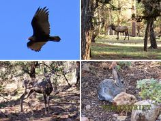 From top left going clockwise: 1. The California Condor - one of the rarest birds in the world and the largest land bird in North America 2. Rocky Mountain Elk - keep your distance! 3. Mountain Cottontail Rabbit 4. Mule Deer. Just a sample of the wildlife you can see at Grand Canyon National Park.