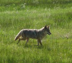 Coyote in meadow, Rocky Mountain National Park https://www.flickr.com/photos/sedona/7391934080/in/photostream