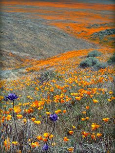 This is another shot from the trip to the poppy preserve. Mixed among the tens of millions of poppies were a few interlopers, including these purple flowers. I don't know what they are, but they add some dramatic contrast to the fields of orange poppies. Beautiful World, Beautiful Places, Beautiful Pictures, Mother Earth, Mother Nature, Purple Flowers, Wild Flowers, Field Of Flowers, Purple Poppies