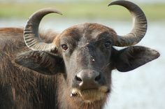 Waterbuffalo, reminds me of Jeff