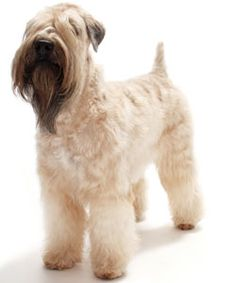 Trimming your Soft Coated Wheaten Terrier's coat is an important step in grooming this dog breed.
