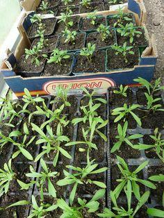 Předpěstování sadby ze semen a čím si pomoci - HOME Gardening, Plants, Decor, Libros, Decoration, Lawn And Garden, Plant, Decorating, Planets