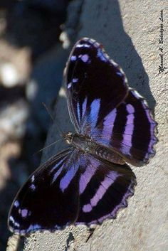Mexican Bluewing, Myscelia ethusa, Central America