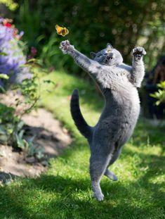 Miss by Kemal Selimovic - Katzenrassen Beautiful Cats I Love Cats, Crazy Cats, Cool Cats, Funny Cats, Funny Animals, Cute Animals, Funniest Animals, Cats Humor, Animal Fun