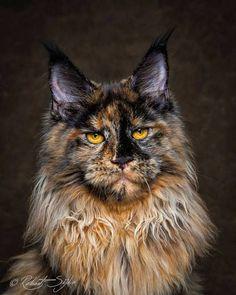Robert Sijka est un spécialiste de la photographie animalière et un grand passionné des chats en particulier des Maine Coon pour lesquels il a consacré une fascinante série de portraits.   Mystiques portraits Qualifiée de 'Gentle Giants' en bon français Gentils Géants, l'une des plus belles espè