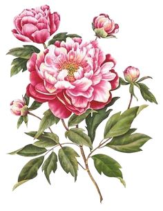 free victorian flowers and vintage fruit clip art and borders rh pinterest com clipart peony flower clipart peony flower