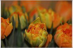 #EssenReisenLeben #Tulpen #Frühling www.facebook.com/EssenReisenLeben