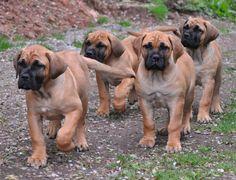 Boerboel-puppies-pictures.jpg (1280×980)