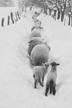 trail of sheep