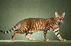 gato de bengala - Buscar con Google