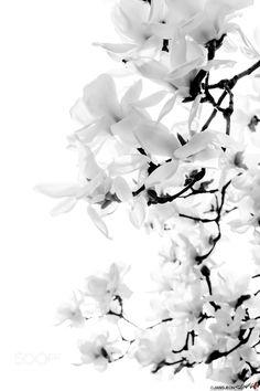 ∞ αω ∞ Magnolia