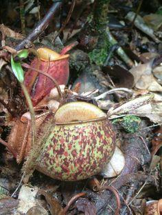 Nepenthes ampullaria, New Guinea