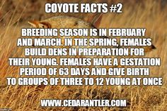 Locations with higher populations of coyotes will typically yield smaller litters of pups, as areas with lower populations tend to have more pups per litter. Predator Hunting, Coyote Hunting, Pheasant Hunting, Hunting Tips, Archery Hunting, Hunting Stuff, Coyote Facts, Saltwater Fishing, Kayak Fishing