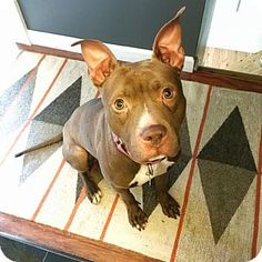 Livonia, MI - American Staffordshire Terrier. Meet Ruthie, a dog for adoption. http://www.adoptapet.com/pet/15092466-livonia-michigan-american-staffordshire-terrier