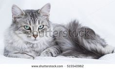 beuatiful silver feline on the sofa, siberian breed - this #image new on #shutterstock #pet #puppy #kitten #chat #gatos #tabbycats #browncats #cat #christmas #猫 #furry