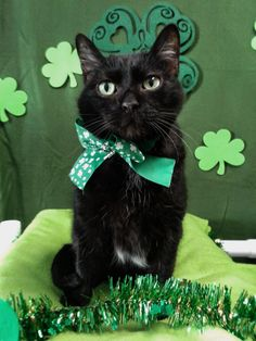 Put a green hat on your kitty and boom - they're Irish for the day! * Read more info by clicking the link on the image. #CatsBreed