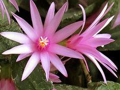 A flor-de-outubro é uma planta herbácea, epífita e florífera, da família dos cactos e nativa do sul do Brasil. Ela apresenta artículos suculentos, cilíndri