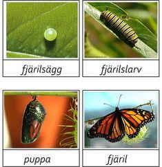 Monarch Butterfly Life Cycle: egg, larvae, pupa, and adult Waldorf Preschool, Preschool Rooms, Learn Swedish, Swedish Language, Monarch Caterpillar, Butterfly Life Cycle, Montessori Classroom, Life Cycles, Creative Kids