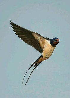 Hirundo rustica. Barn Swallow, European Swallow, Swallow, Hirondelle de cheminée