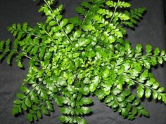 Austral Gem ferns are tough!  Looks and feels like plastic, but its the real deal.