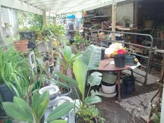 Plants in greenhouse (Sept13 2014)