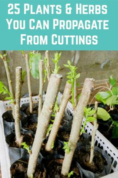 25 Plants & Herbs You Can Propagate From Cuttings Garden Trees, Lawn And Garden, Garden Plants, Fruit Trees, Trees To Plant, Home Vegetable Garden, Veggie Gardens, Plant Cuttings, Gardening Tips